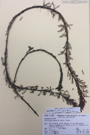 (Myriophyllum aquaticum - NZANG051)  @11 [ ] copyright (2016) CEC Gemmill University of Waikato