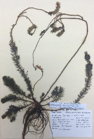 (Myriophyllum elatinoides - NZANG052)  @11 [ ] copyright (2016) CEC Gemmill University of Waikato