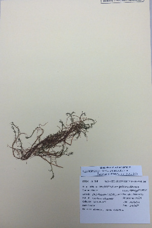 (Myriophyllum pedunculatum - NZANG053)  @11 [ ] copyright (2016) CEC Gemmill University of Waikato