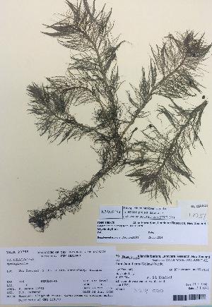 (Myriophyllum sp - NZANG054)  @11 [ ] copyright (2016) CEC Gemmill University of Waikato