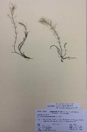 (Myriophyllum propinqum - NZANG055)  @11 [ ] copyright (2016) CEC Gemmill University of Waikato