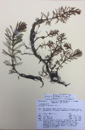 (Myriophyllum robustum - NZANG056)  @11 [ ] copyright (2016) CEC Gemmill University of Waikato