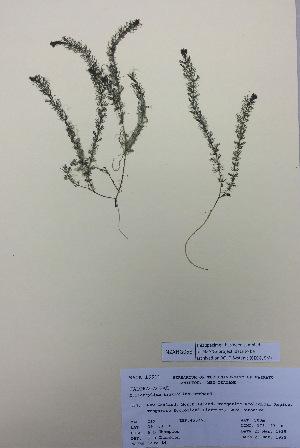 (Myriophyllum triphyllum - NZANG058)  @11 [ ] copyright (2016) CEC Gemmill University of Waikato