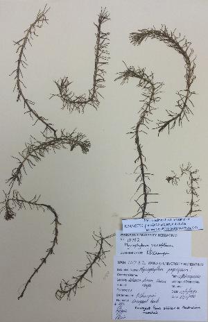 (Myriophyllum variifolium - NZANG059)  @11 [ ] copyright (2016) CEC Gemmill University of Waikato