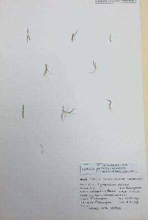(Myriophyllum votschii - NZANG060)  @11 [ ] copyright (2016) CEC Gemmill University of Waikato