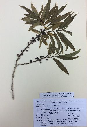 (Violaceae - NZANG103)  @11 [ ] copyright (2016) Chrissen EC Gemmill University of Waikato