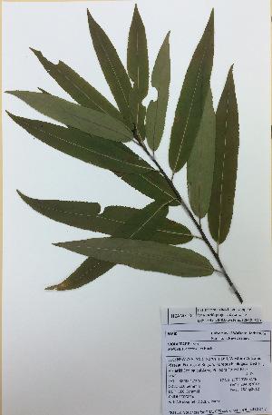 (Violaceae - NZANG104)  @11 [ ] copyright (2016) Chrissen EC Gemmill University of Waikato