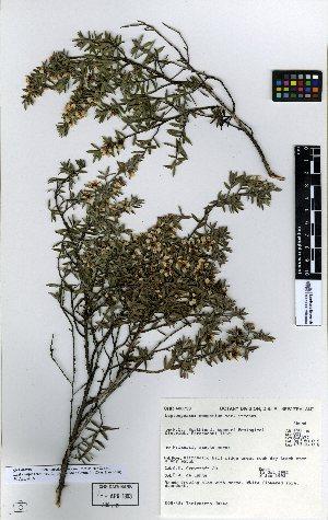 (Leptospermum - NZANG124)  @11 [ ] copyright (2016) Allan Herbarium, Landcare Research Lincoln, New Zealand Allan Herbarium, Landcare Research Lincoln, New Zealand