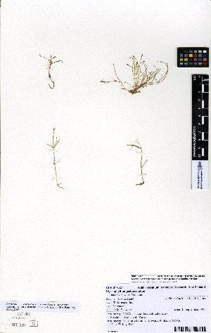 (Myriophyllum pedunculatum - NZANG139)  @11 [ ] copyright (2016) Allan Herbarium, Landcare Research Lincoln, New Zealand Allan Herbarium, Landcare Research Lincoln, New Zealand