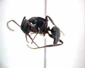 (Camponotus cristatus - NZAC04036307)  @14 [ ] Unspecified (default): All Rights Reserved  Unspecified Unspecified