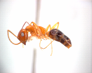 (Camponotus maudella - NZAC04034525)  @14 [ ] Unspecified (default): All Rights Reserved  Unspecified Unspecified
