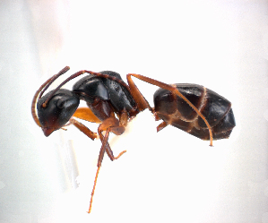 (Camponotus schmeltzi - NZAC04036454)  @11 [ ] Unspecified (default): All Rights Reserved  Unspecified Unspecified