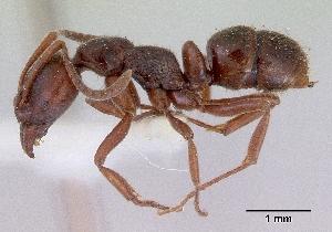 (Pachycondyla castanea - NZAC04033705)  @14 [ ] Copyright (2010) California Acad Sciences California Academy of Sciences