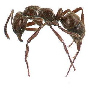 (Pachycondyla sp. coromandel - NZAC04035623)  @13 [ ] Unspecified (default): All Rights Reserved  Unspecified Unspecified