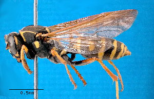 (Polistes chinensis - NZAC04031499)  @14 [ ] Unspecified (default): All Rights Reserved  Unspecified Unspecified