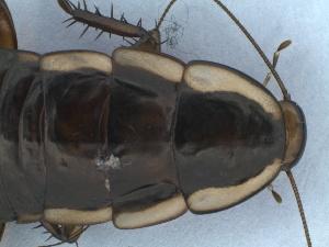 (Drymaplaneta variegata - NZINS089)  @12 [ ] Copyright (2012) Unspecified University of Waikato