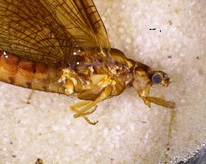 (Ichthybotidae - NZMAY037)  @13 [ ] Copyright (2013) Ian Hogg University of Waikato