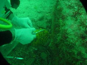 (Halichondriidae - NZSPG005)  @11 [ ] Copyright (2014) University of Waikato University of Waikato