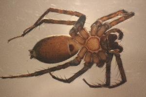 (Cycloctenidae - NZSPI258)  @11 [ ] Copy right (2014) University  of Waikato University of Waikato