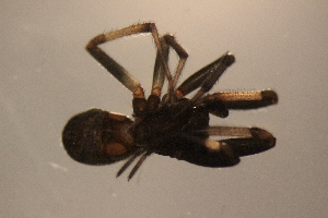 (Steatoda truncata - NZSPI280)  @11 [ ] Copy right (2014) University  of Waikato University of Waikato