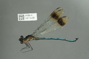 (Philogangidae - RMNH.5011439)  @14 [ ] CreativeCommons Attribution Non-Commercial Share-Alike (2016) Unspecified Naturalis, Biodiversity Centre