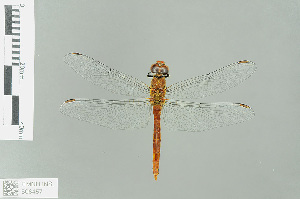 (Sympetrum darwinianum - RMNH.INS.508457)  @11 [ ] CreativeCommons Attribution Non-Commercial Share-Alike (2013) Unspecified Naturalis Biodiversity Center