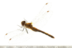 (Sympetrum janeae - 08BBODO-346)  @14 [ ] CreativeCommons - Attribution Non-Commercial Share-Alike (2008) Unspecified Biodiversity Institute of Ontario