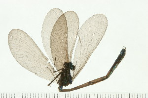 (Calopteryx maculata - 08SOODO-0145)  @13 [ ] CreativeCommons - Attribution Non-Commercial Share-Alike (2008) BIO Photography Group Biodiversity Institute of Ontario