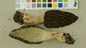 (Morchella deliciosa - O-F-22466)  @11 [ ] CreativeCommons - Attribution Non-Commercial Share-Alike (2016) Unspecified University of Oslo, Natural History Museum