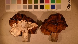 (Gyromitra esculenta - O-F-260068)  @11 [ ] by-nc-sa (2016) Unspecified University of Oslo, Natural History Museum