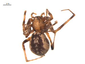 (Philodromus speciosus - BIOUG20590-G01)  @11 [ ] CreativeCommons – Attribution Non-Commercial Share-Alike (2015) G. Blagoev Biodiversity Institute of Ontario