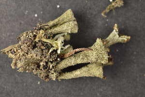 (Cladonia grayi - O-L-134042)  @11 [ ] by-nc (2014) Siri Synnøve Høie Natural History Museum, University of Oslo, Norway