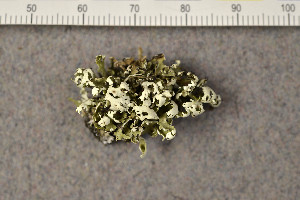 (Cladonia foliacea - O-L-168183)  @11 [ ] by-nc (2015) Trude Magnussen Natural History Museum, University of Oslo, Norway