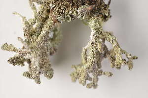 (Cladonia macrophylla - O-L-184370)  @11 [ ] by-nc (2014) Siri Synnøve Høie Natural History Museum, University of Oslo, Norway
