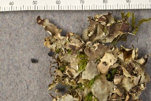 (Peltigera scabrosella - O-L-184740)  @11 [ ] by-nc (2015) Trude Magnussen Natural History Museum, University of Oslo, Norway