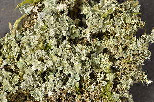 (Cladonia caespiticia - O-L-186036)  @11 [ ] by-nc (2014) Siri Synnøve Høie Natural History Museum, University of Oslo, Norway