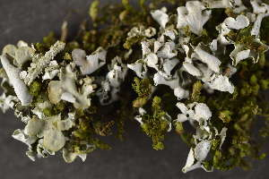 (Cladonia cyathomorpha - O-L-186087)  @11 [ ] by-nc (2014) Siri Synnøve Høie Natural History Museum, University of Oslo, Norway