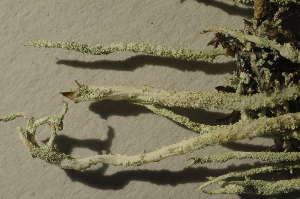 (Cladonia cyanipes - O-L-195652)  @11 [ ] by-nc (2014) Einar Timdal Natural History Museum, University of Oslo, Norway