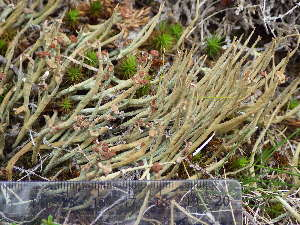 (Cladonia maxima - O-L-195829)  @11 [ ] by-nc (2014) Einar Timdal Natural History Museum, University of Oslo, Norway
