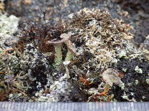 (Cladonia straminea - O-L-195976)  @11 [ ] by-nc (2014) Gunnhild Marthinsen Natural History Museum, University of Oslo, Norway