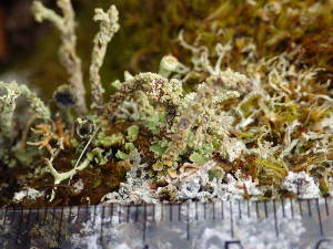 (Cladonia macrophylla - O-L-195979)  @11 [ ] CreativeCommons - Attribution Non-Commercial (2014) Gunnhild Marthinsen Natural History Museum, University of Oslo, Norway