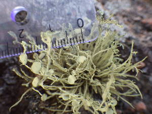(Ramalina cuspidata - O-L-196016)  @11 [ ] by-nc (2014) Reidar Haugan Natural History Museum, University of Oslo, Norway