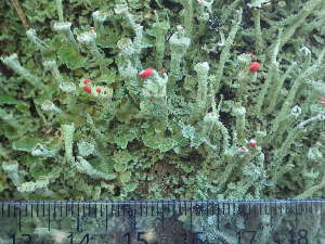 (Cladonia digitata - O-L-196306)  @11 [ ] by-nc (2014) Einar Timdal Natural History Museum, University of Oslo, Norway