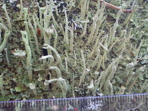 (Cladonia cenotea - O-L-196307)  @11 [ ] by-nc (2014) Einar Timdal Natural History Museum, University of Oslo, Norway