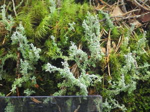 (Cladonia squamosa - O-L-196309)  @11 [ ] by-nc (2014) Einar Timdal Natural History Museum, University of Oslo, Norway