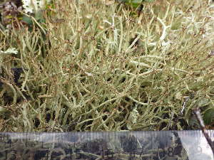 (Cladonia amaurocraea - O-L-196316)  @11 [ ] by-nc (2014) Siri Rui Natural History Museum, University of Oslo, Norway