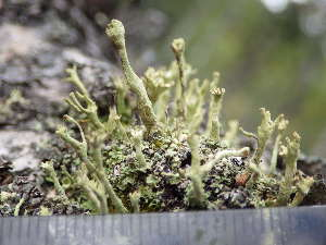 (Cladonia bacilliformis - O-L-196327)  @11 [ ] CreativeCommons - Attribution Non-Commercial (2014) Einar Timdal Natural History Museum, University of Oslo, Norway
