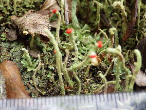 (Cladonia macilenta - O-L-196334)  @11 [ ] by-nc (2014) Einar Timdal Natural History Museum, University of Oslo, Norway