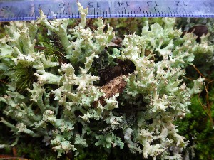 (Cladonia turgida - O-L-199980)  @11 [ ] by-nc (2015) Einar Timdal Natural History Museum, University of Oslo, Norway