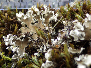 (Peltigera rufescens - O-L-199989)  @11 [ ] by-nc (2015) Einar Timdal Natural History Museum, University of Oslo, Norway